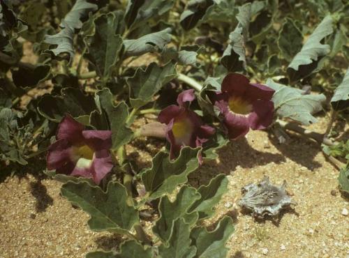 harpagophytum-plante.jpg
